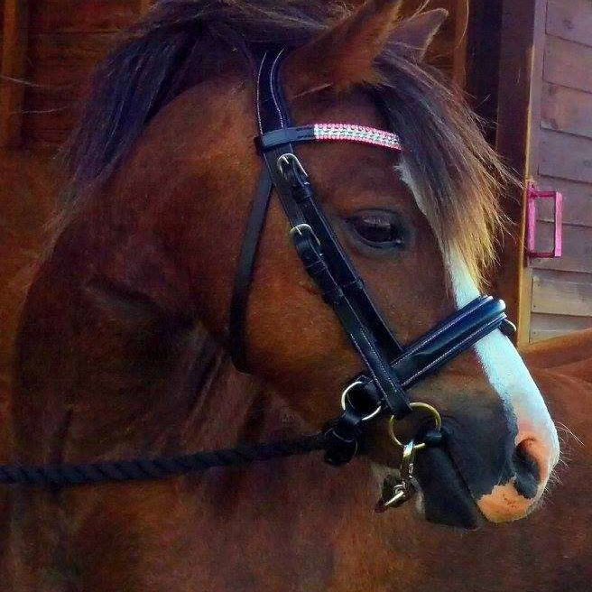 Tagan, Welsh section A mare in her well fitting bling browband