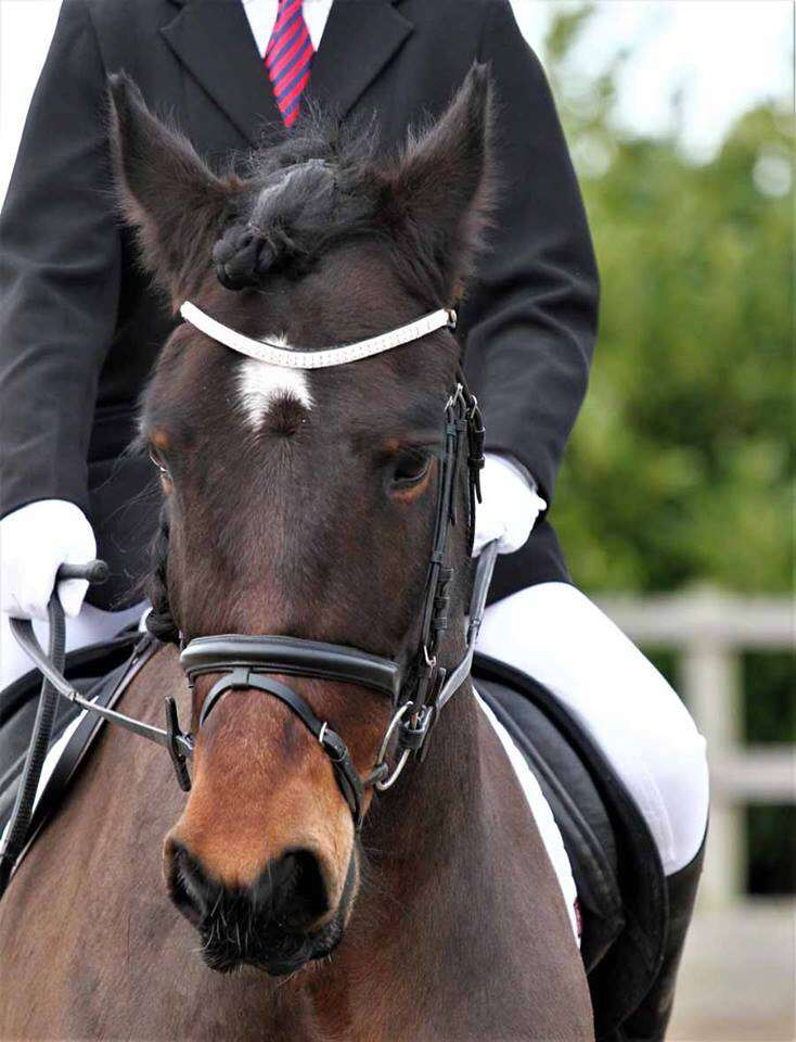 Rocky bay Friesian x Cob gelding in a dressage test at Oakley equestrian center in Crowle sporting his bling browband Ponycouture make bling for horses
