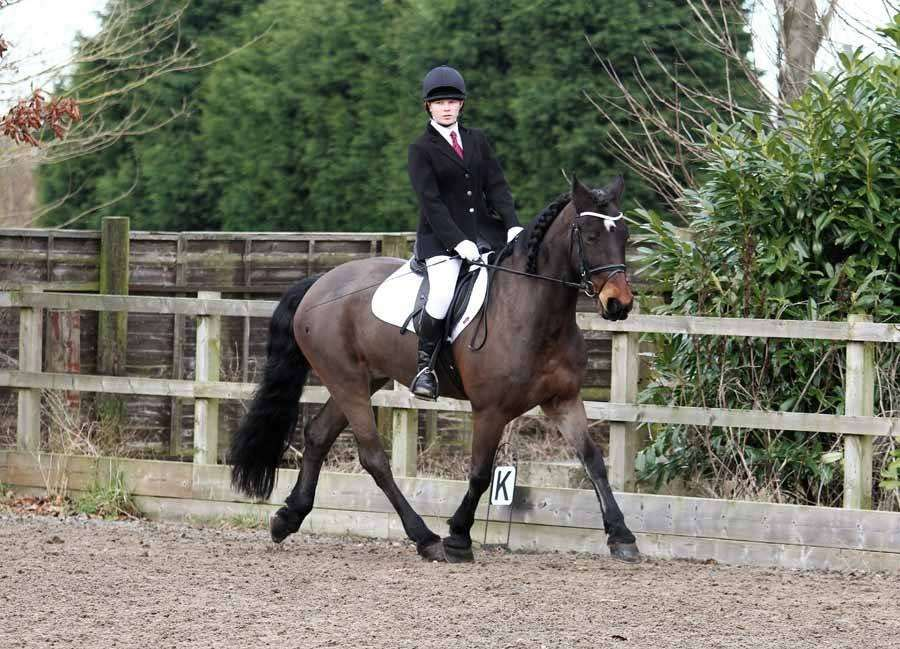 friesian X Cob bay gelding in a dressage test at Oakley equestrian center in Crowle ridden by Jessica Moorhouse and wearing one of PonyCouture's handmade bling browbands